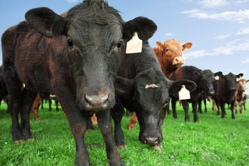 steer cattle