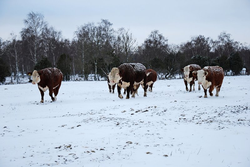 cold stress cattle