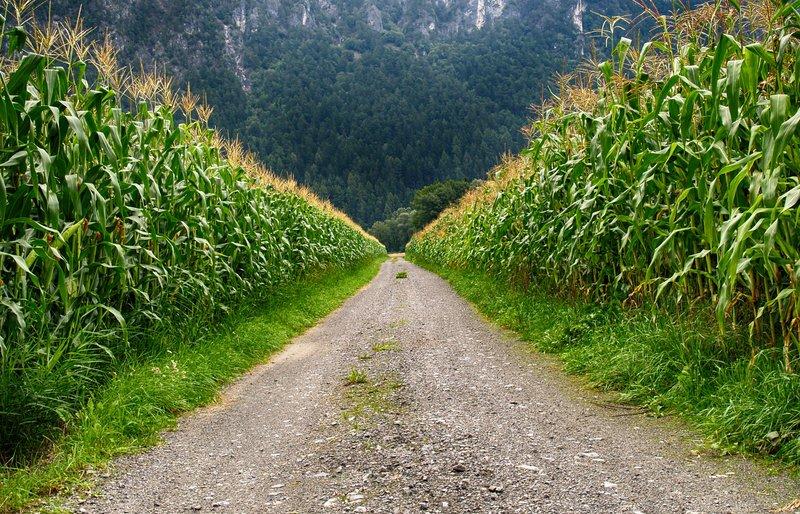 corn field3