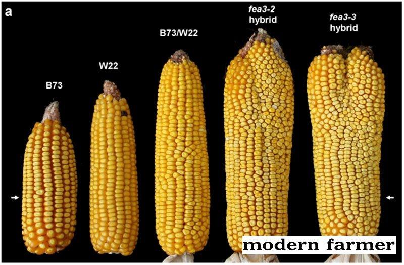 corn_genetic